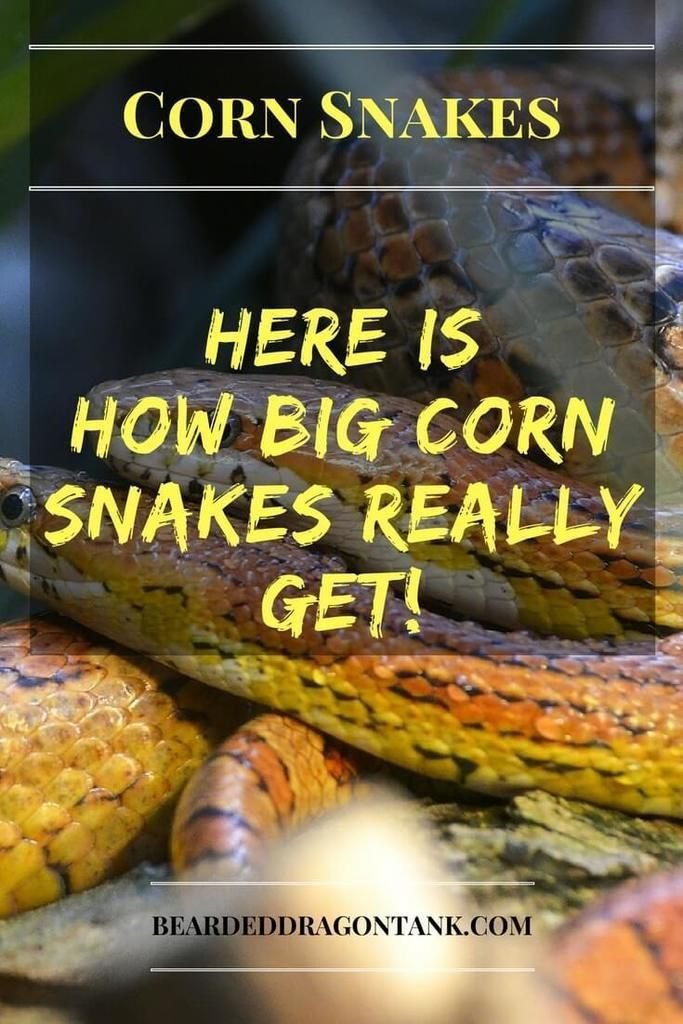 How Big Do Corn Snakes Get? Why It Doesn´t Really Matter