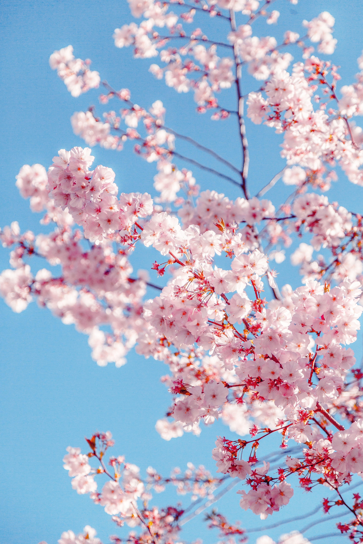 Nashville's Cherry Blossom Festival