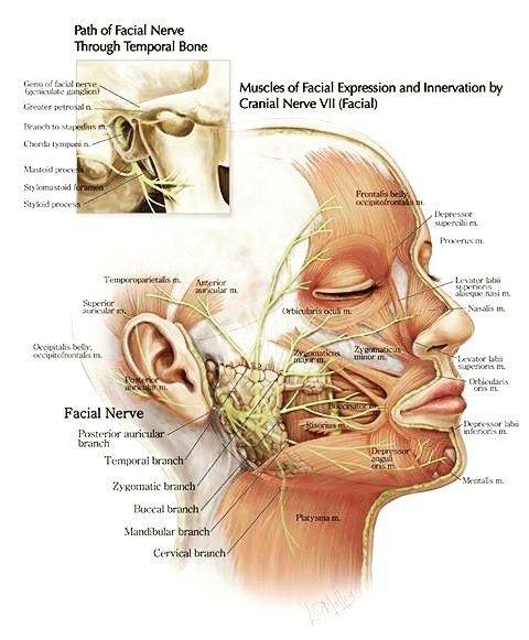 Pin de مثنى القيسي en medical | Pinterest | Anatomía, La lengua y Lengua