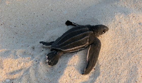 Leatherback Sea Turtle Leatherback Turtle Leatherback Sea Turtle