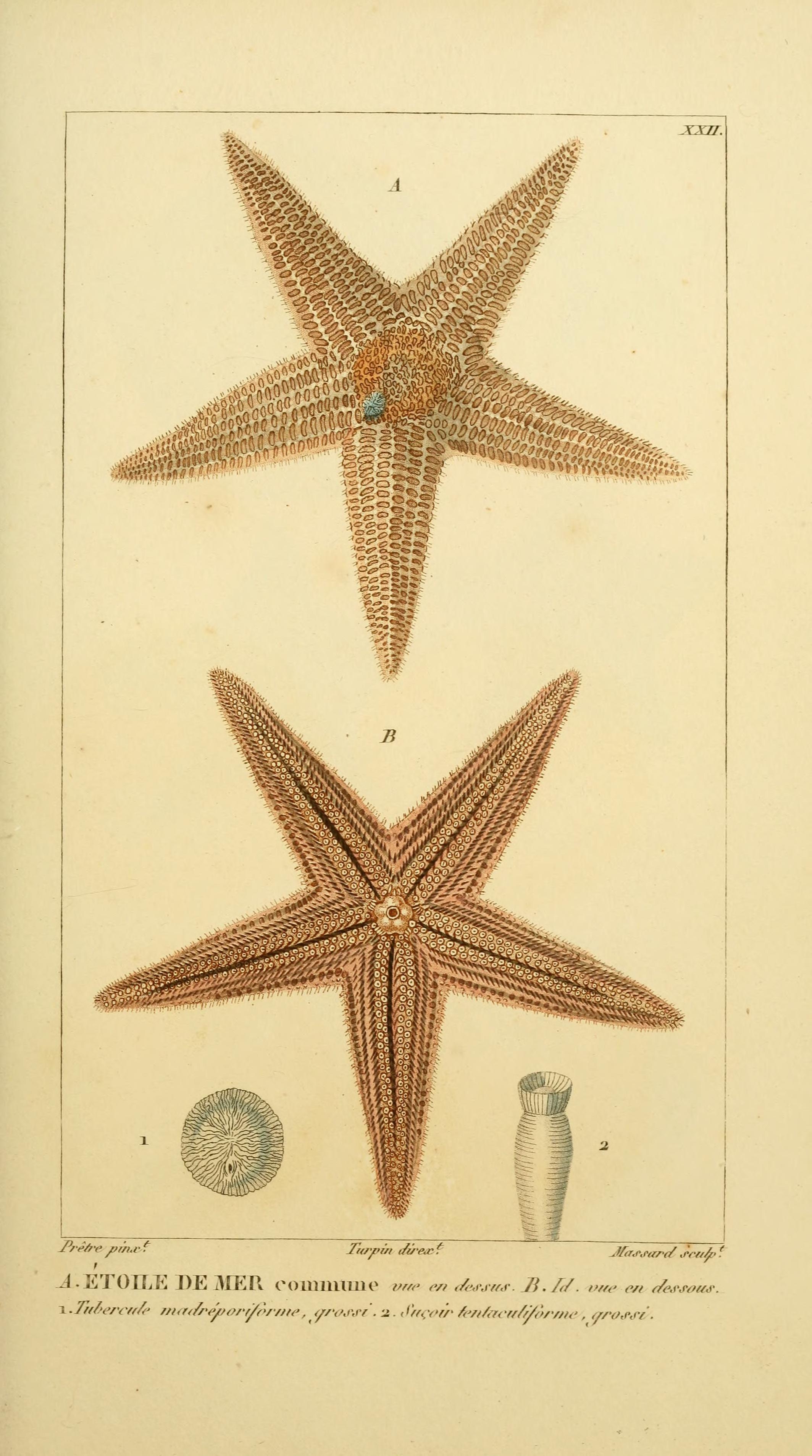 Manuel d\'actinologie ou de zoophytologie /. Paris ;F.G. Levrault ...