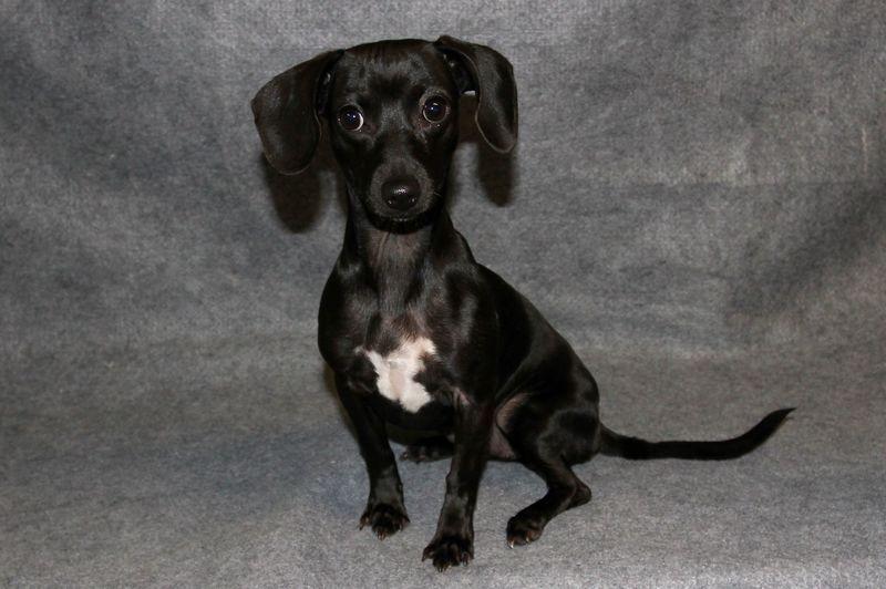 Adopt Hannah On Dachshund Mix Pet Adoption Humane Society