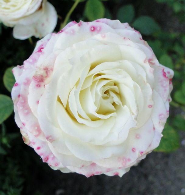 ~Rosa 'Lovely Green' (France, 2005)