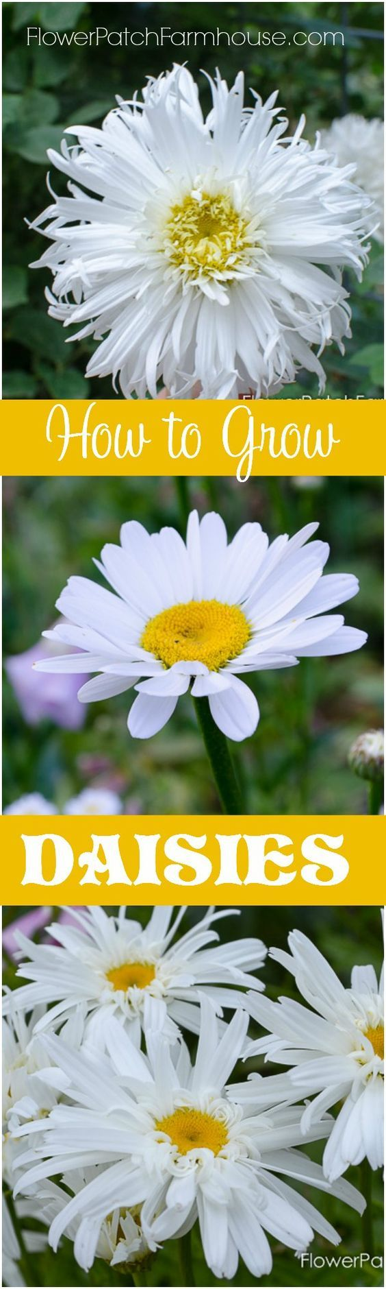 how to grow shasta daisies from seed