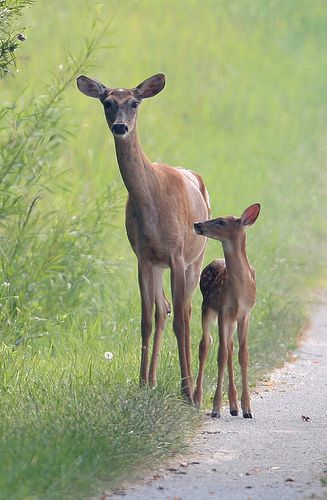 Whitetail Doe and Fawn So beautiful and graceful...just don't want them in the garden.