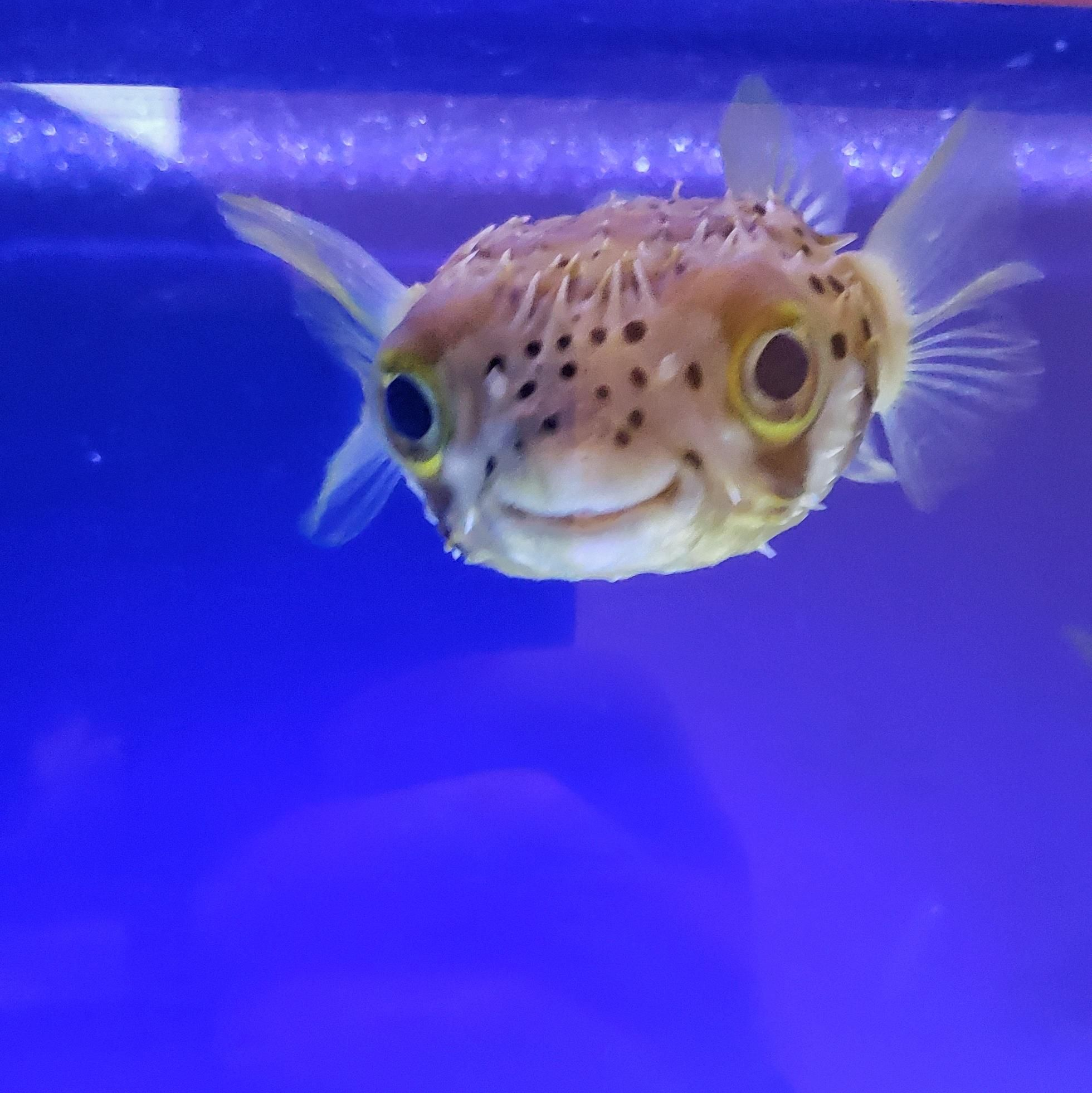This Smiling Puffer Fish At My Kids School Http Bit Ly 2r91p0m Puffer Fish Cute Fish Fish