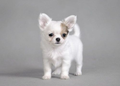 Attention Hyper Dog Breeds Chihuahua Puppies Cute Chihuahua
