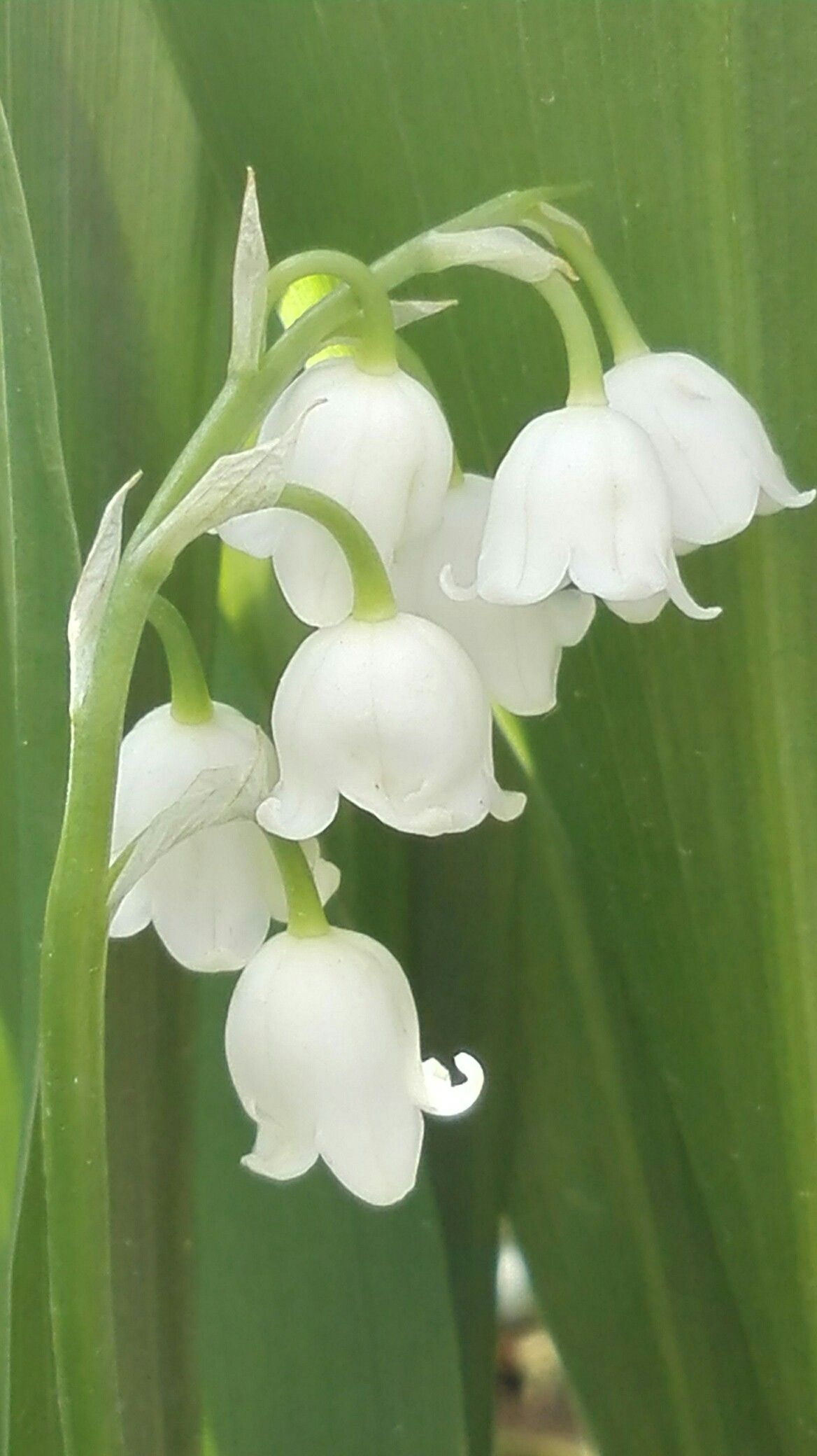 Lily Of The Valley A Beauty For Bridal Bouquets Gardening