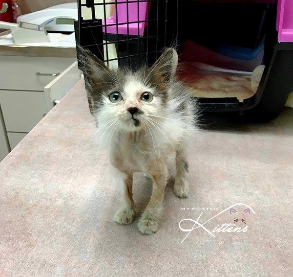 Woman Saves Sick Kitten While Others Gave Up The Transformation Will Amaze You Sick Kitten Kitten Cute Animal Pictures