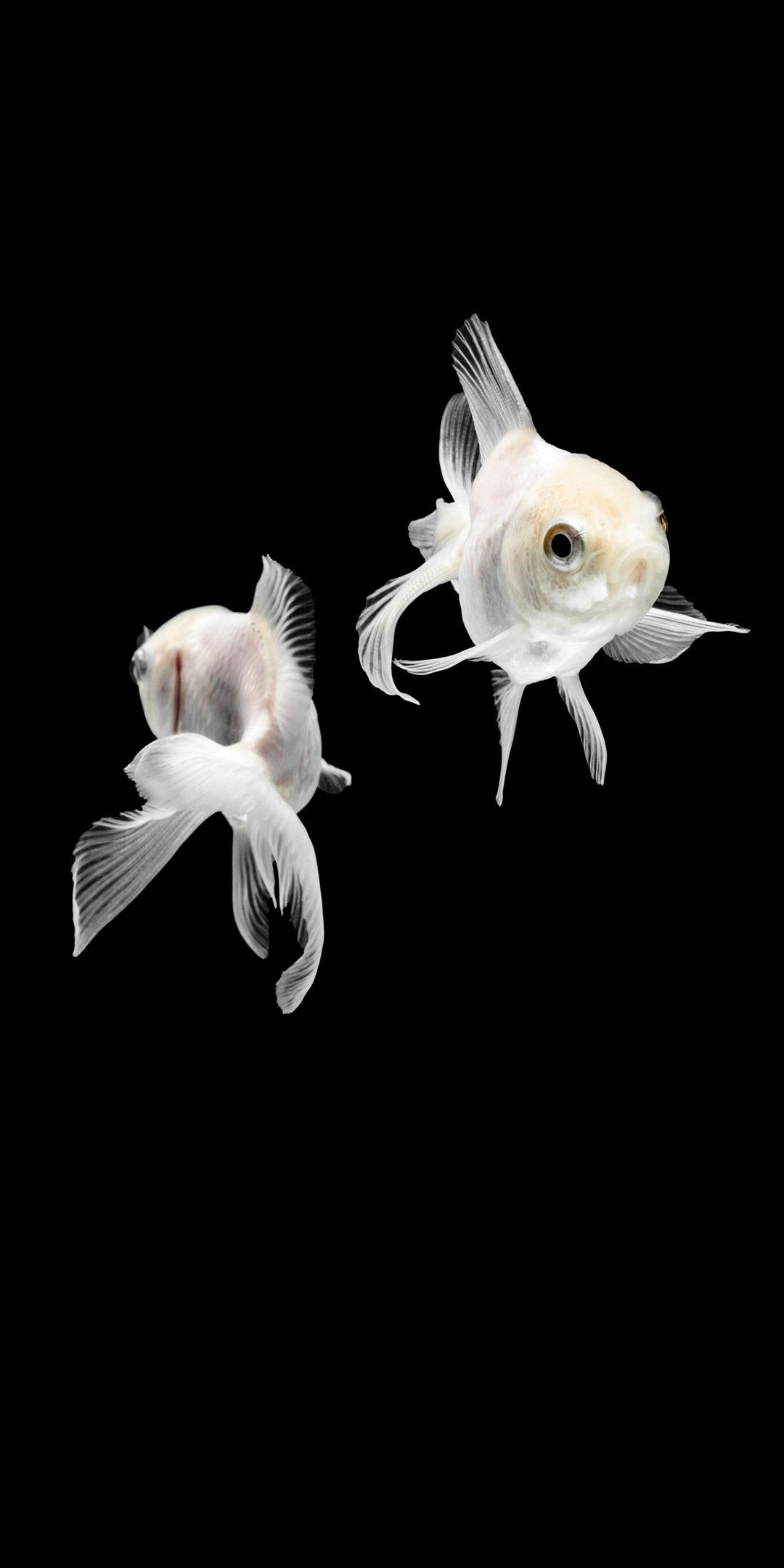 White Gold Fish Wallpaper Beautiful Fish Goldfish Wallpaper