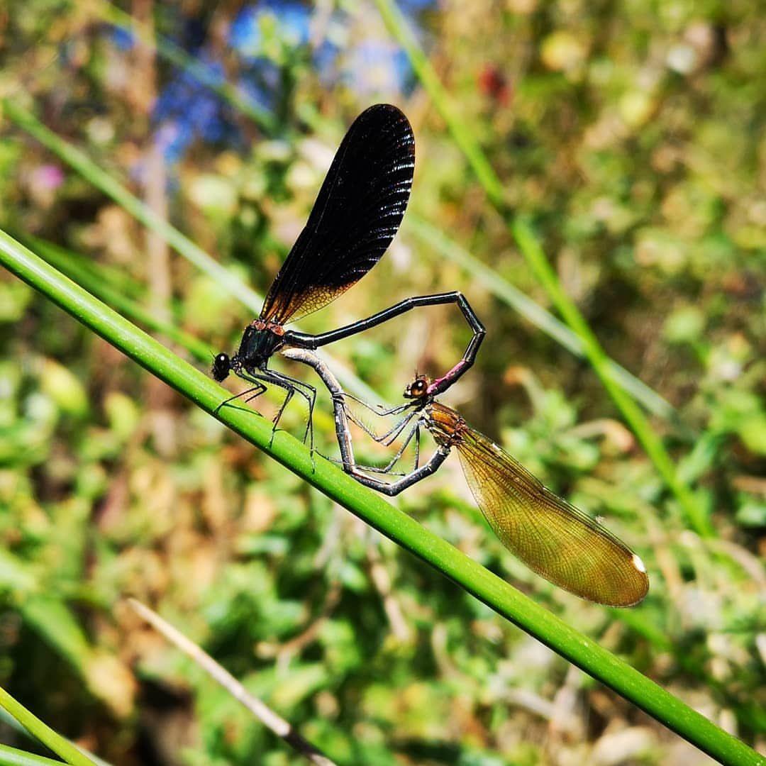 El Amor, la Vida... 💚 #libélulas #libélula #insectos #bichos #hadas #vida #amor #reproduccion #animales #fauna #fairies #fairy #bugs #insects #animals #wildlife #dragonflies #dragonfly #life #lov