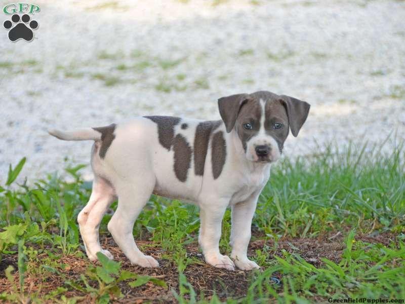 Bella Bella Puppy For Sale In Pennsylvania Pitbull Mix Puppies