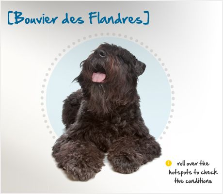 "Did you know the Bouvier des Flandres was breed to be a cattle driver in southwestern Flanders and on the plains of Northern France?  In fact, the breed's French name translates to ""cow herder of Flanders""!   Read more about this fearless breed's characteristics and common health problems by visiting the Petplan pet insurance Condition Checker: www.gopetplan.com"