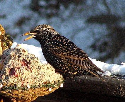 European Starling Bird Life List Backyard Birds Starling
