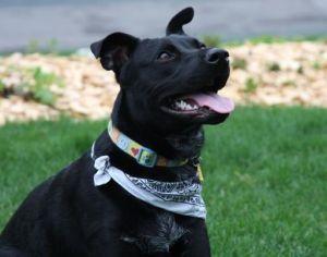 Adopt Poncho On Labrador Retriever Dog Retriever Dog Terrier Mix Dogs