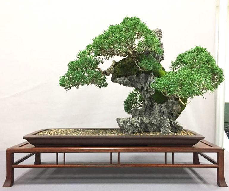 Exquisite Bonsai Stands A Chance Worth Taking Bark
