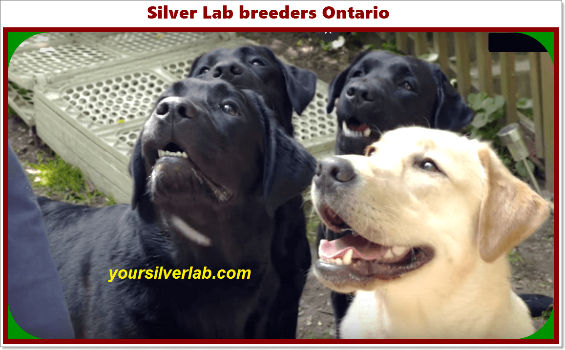 Silver Lab Breeders Ontario In 2020 Silver Labrador Silver Lab Puppies Silver Labrador Retriever