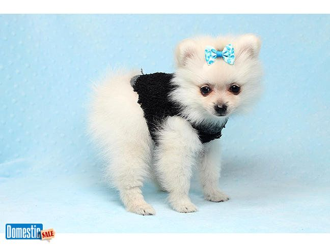 Ben Affleck - Teacup Pomeranian Puppy In Los Angeles #teacuppomeranianpuppy