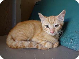 Lathrop Ca Domestic Shorthair Meet Rocket A Kitten For