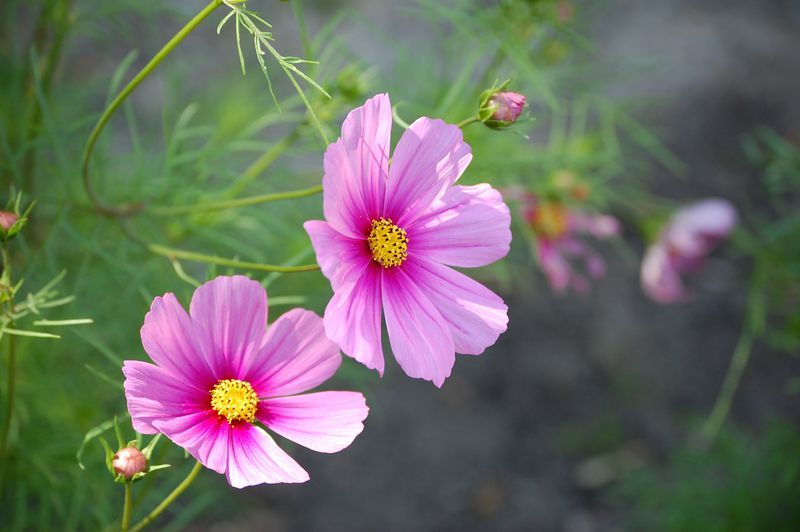 12 Types Of Wildflowers For Summer Gardens Wildflower Photo Wild Flowers Cosmos Flowers