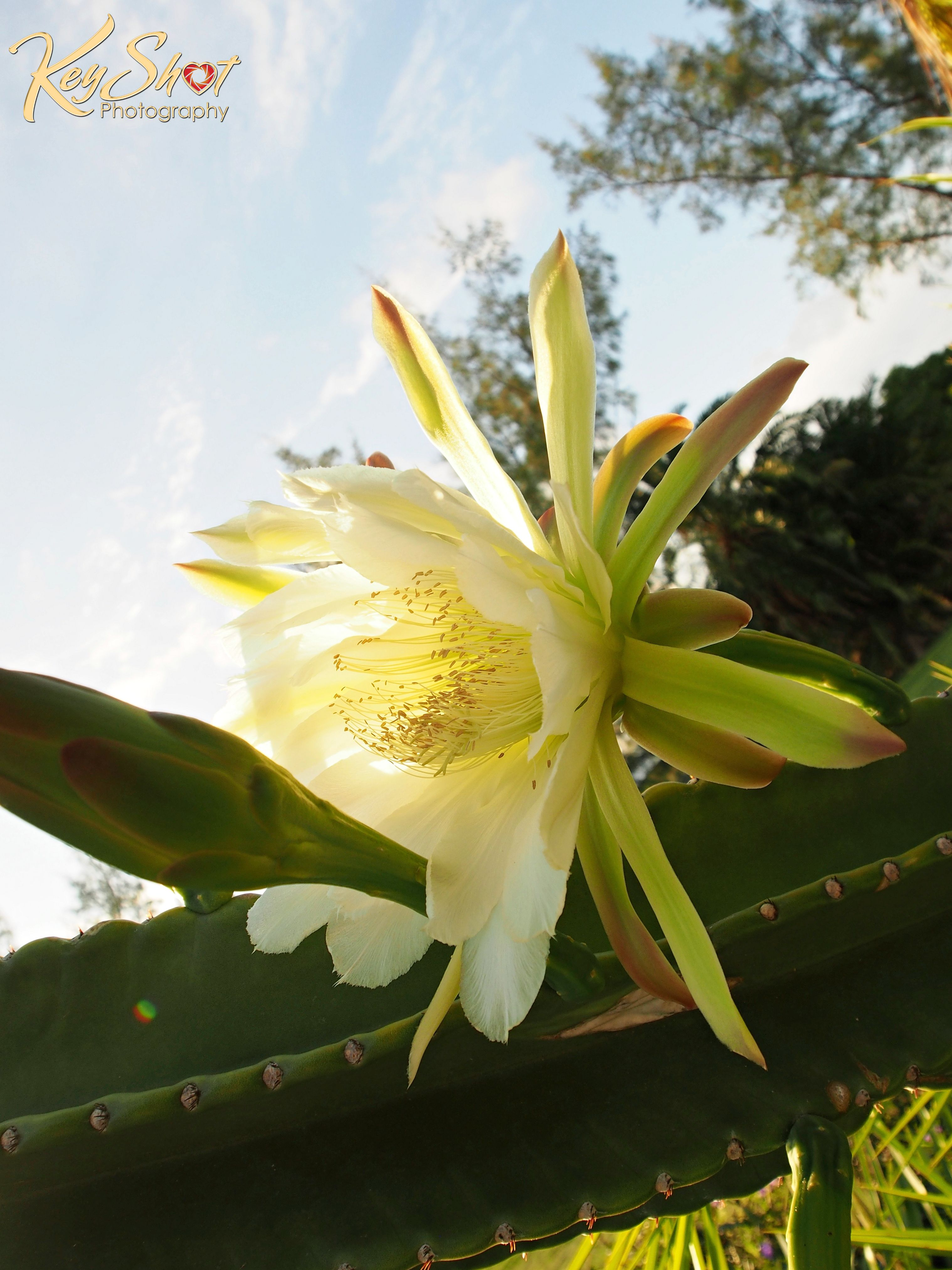 The sun rising on a night blooming cactus flower night blooming