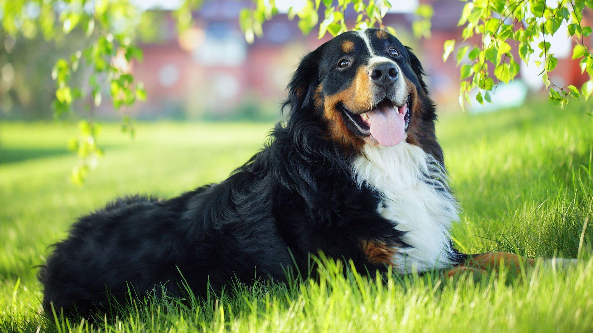 10 Razas De Perro De Talla Grande Hogarmania Con Imagenes