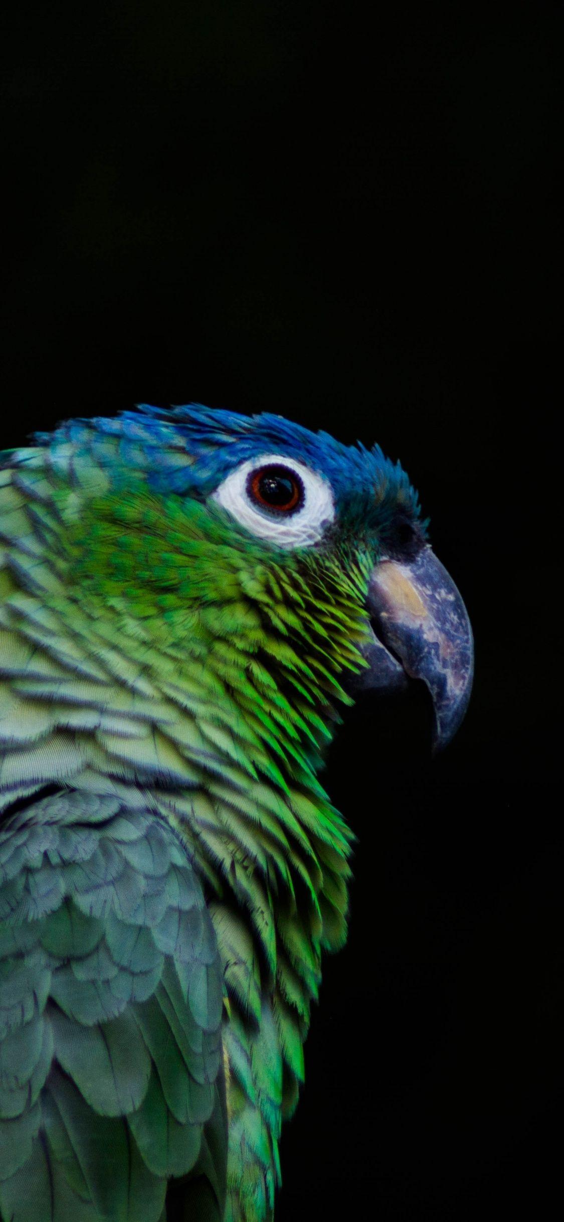 Greenish, colorful, parrot, bird, 1125x2436 wallpaper