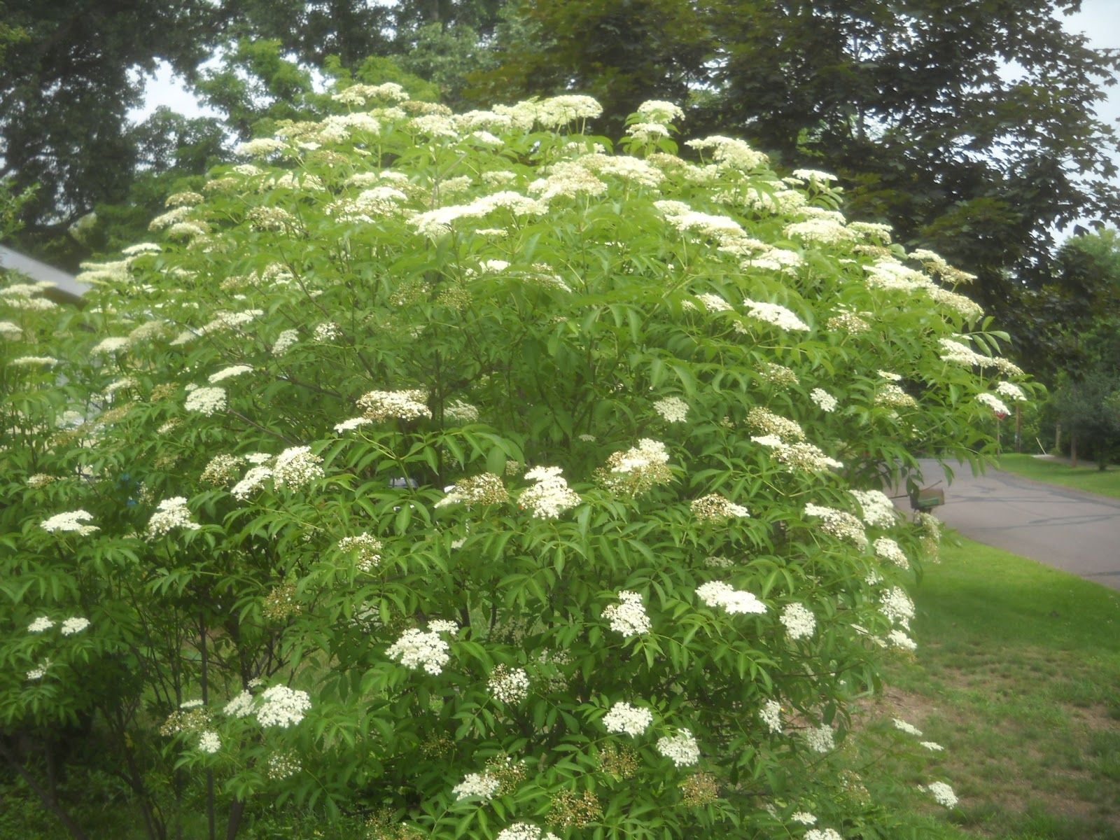 American Elderberry Bush, Wildlife Love It And You Can Make