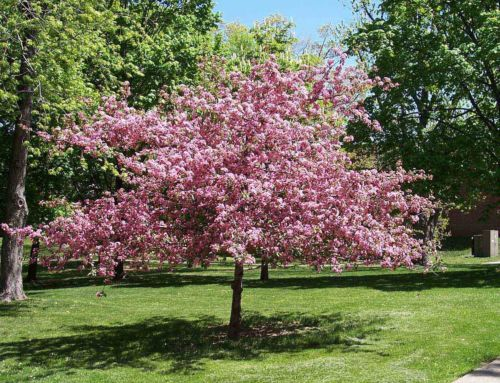 Mazzard Cherry Dwarf Fast Growing Tree You Will Have A Small Tree In 3 4 Years That Produce Fruit This Dwarf Cherry Tree Ornamental Trees Garden Trees