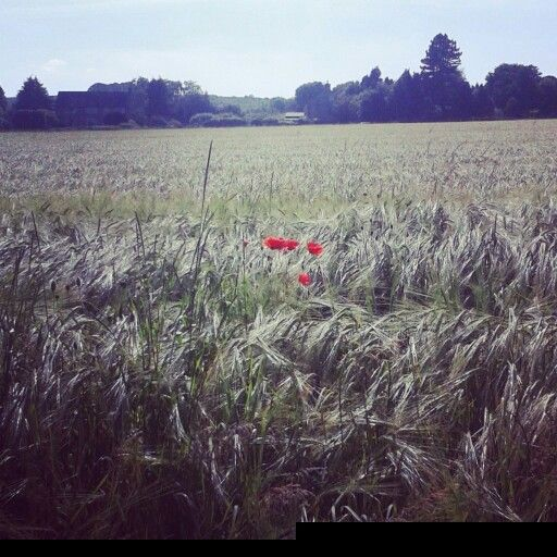 Poppies in a large field during a walk round Monsal Head