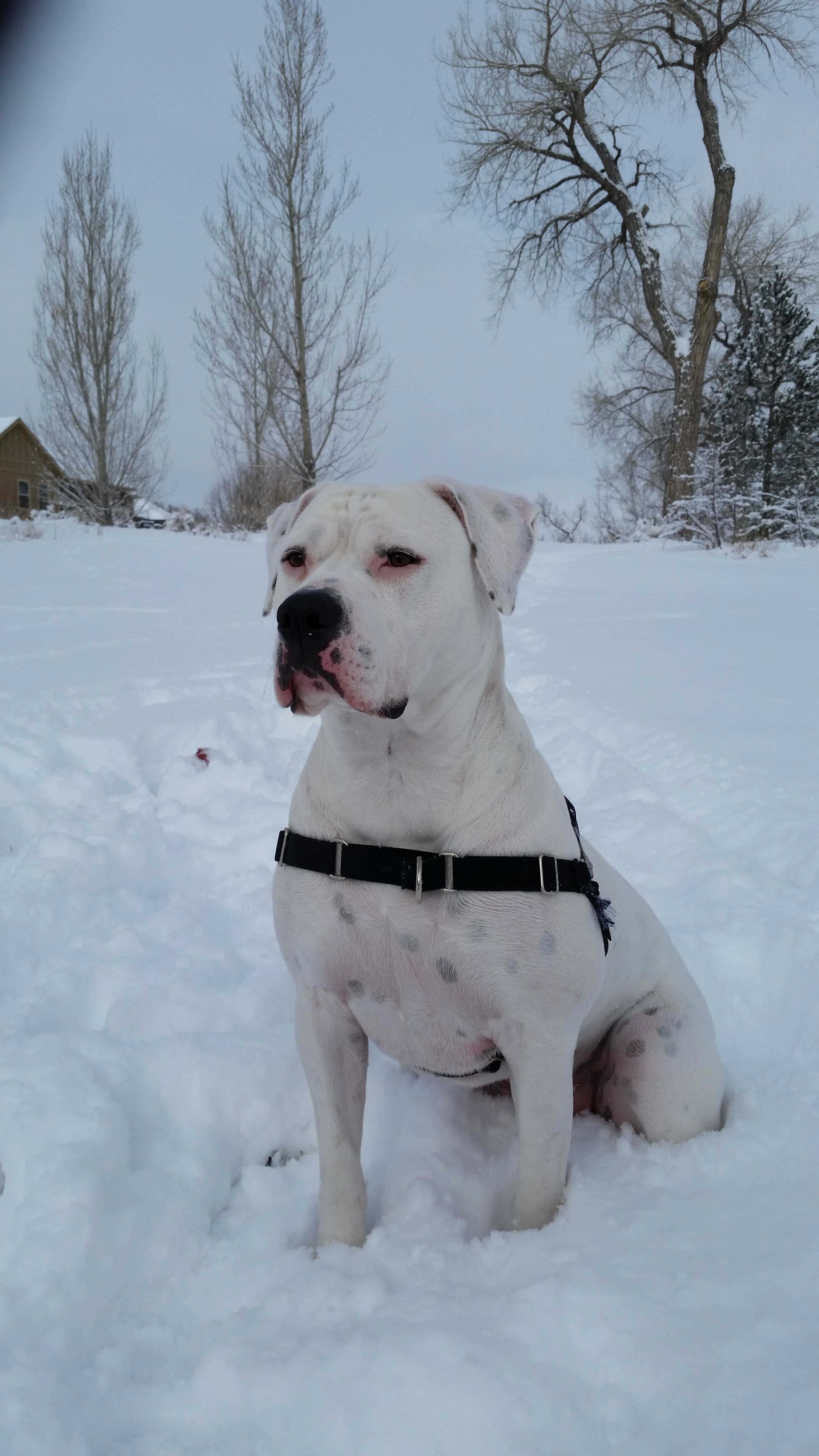 Peque In The Snow 2 American Bulldog Yorkshire Terrier Puppies