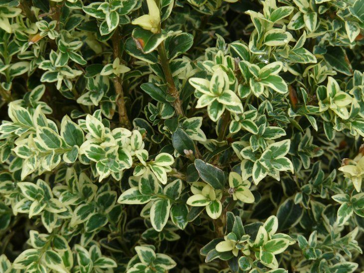 buxus variegated boxwood fae witch garden pinterest