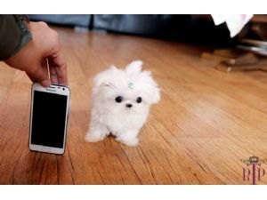 Micro Tiny Teacup Poodles   ... For Sale: Precious Micro Tiny Teacup Maltese Extreme Babydoll face