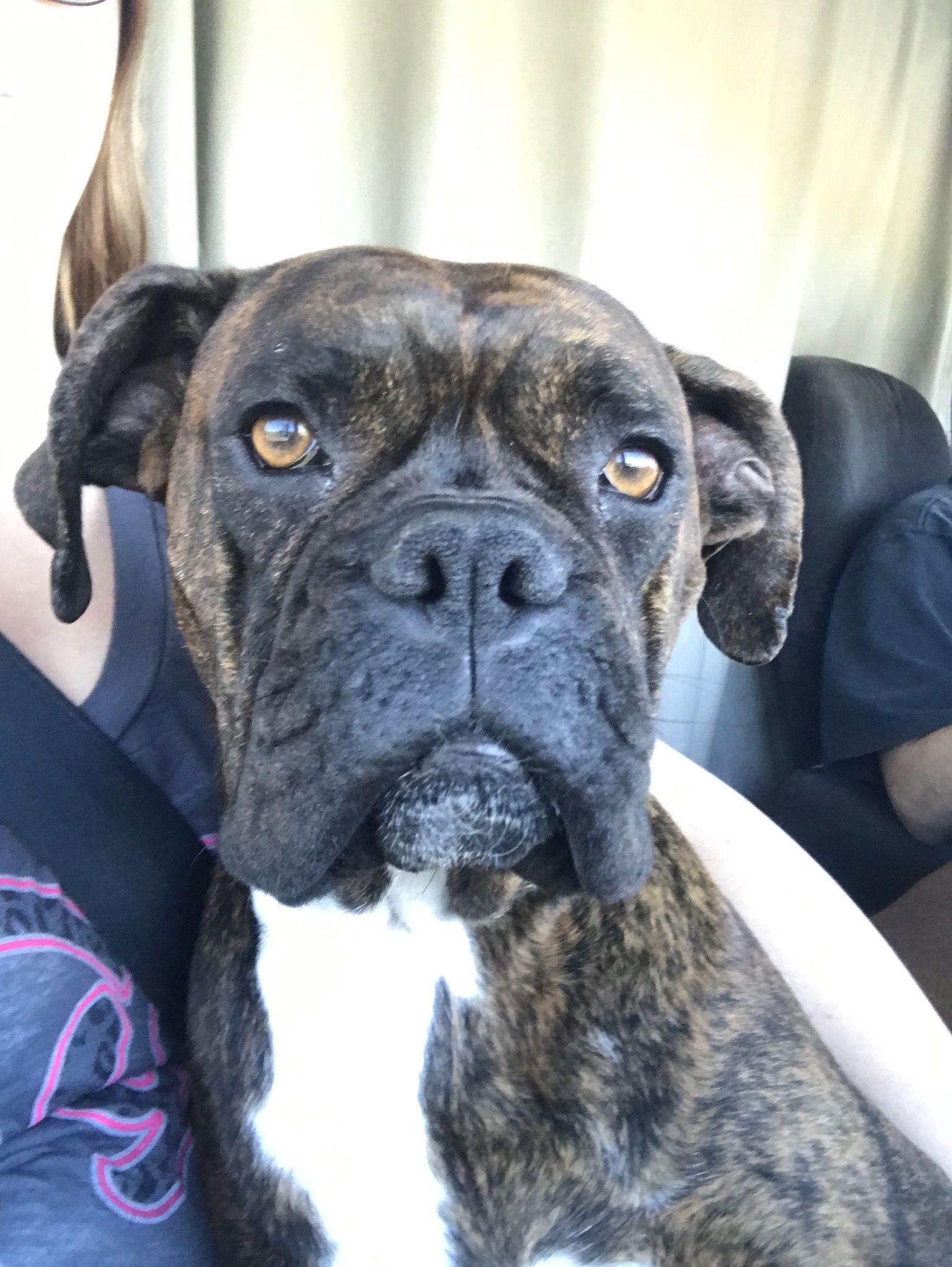 Boxer dog for Adoption in Battle Ground, WA. ADN771056 on