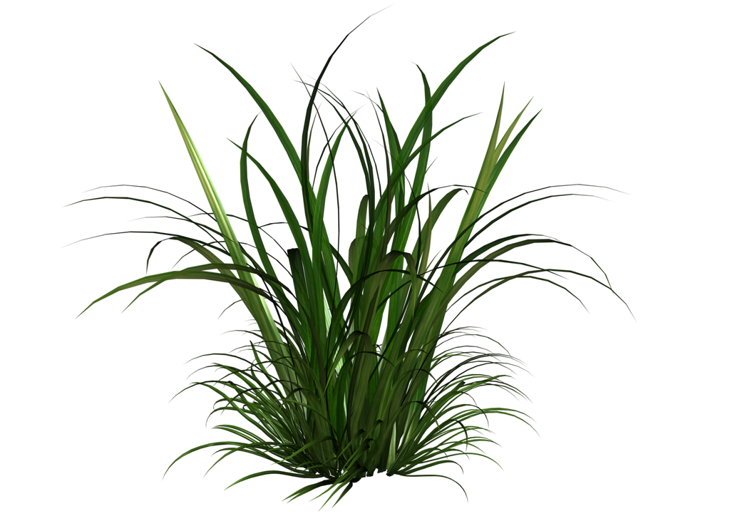 Tall Grass Clipart Google Search Trees To Plant Evergreen Plants Tree Textures