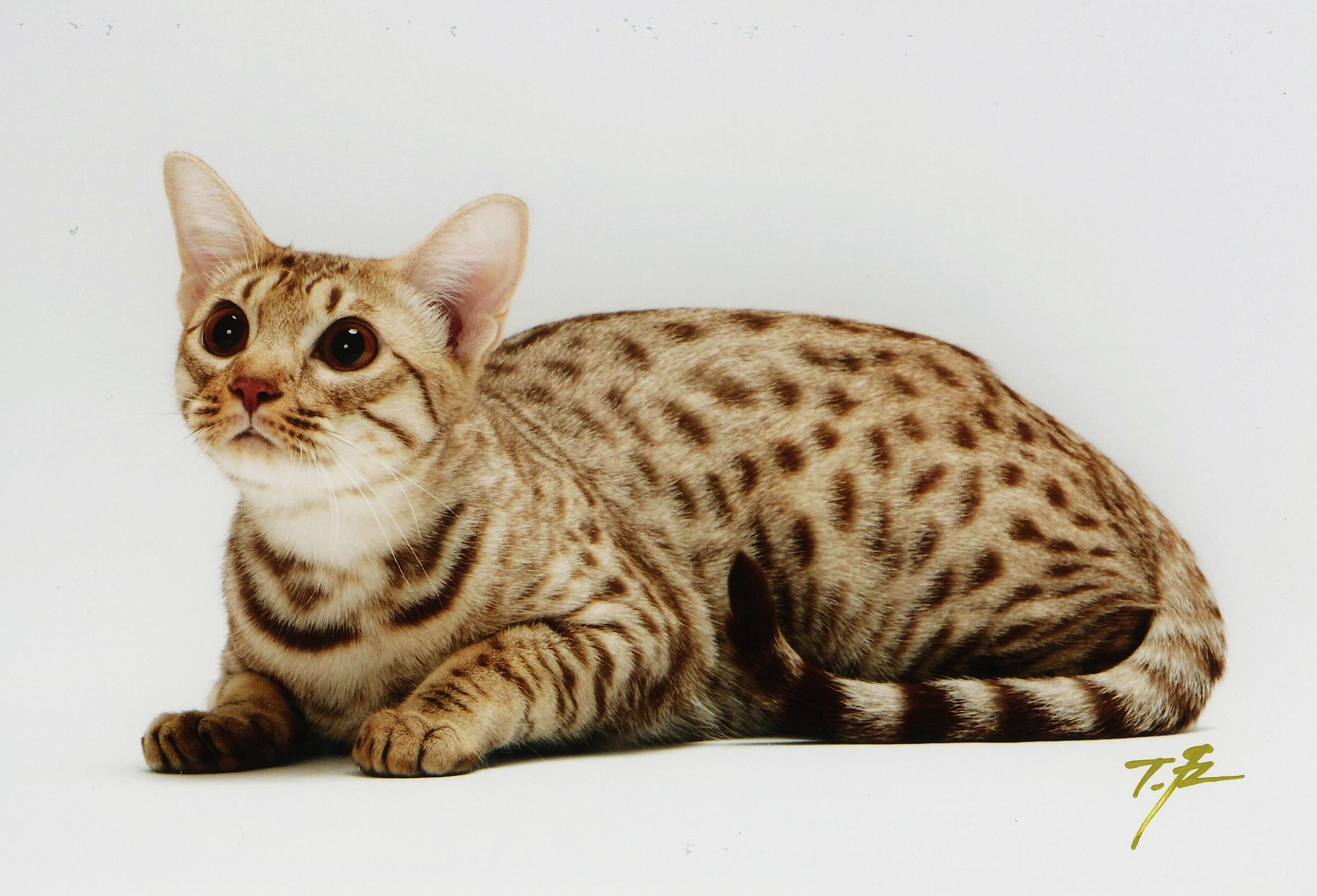Pin by Heidi Rucki on Cat Breeds Ocicat Fluffy cat