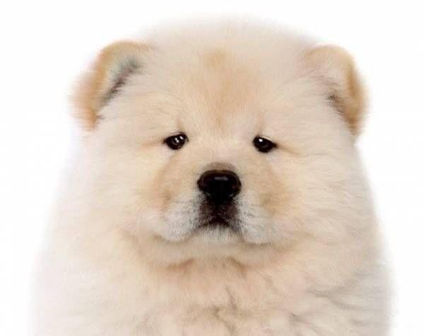 Mushi dog (mit Bildern) | Chow chow welpen, Welpen, Hundebaby