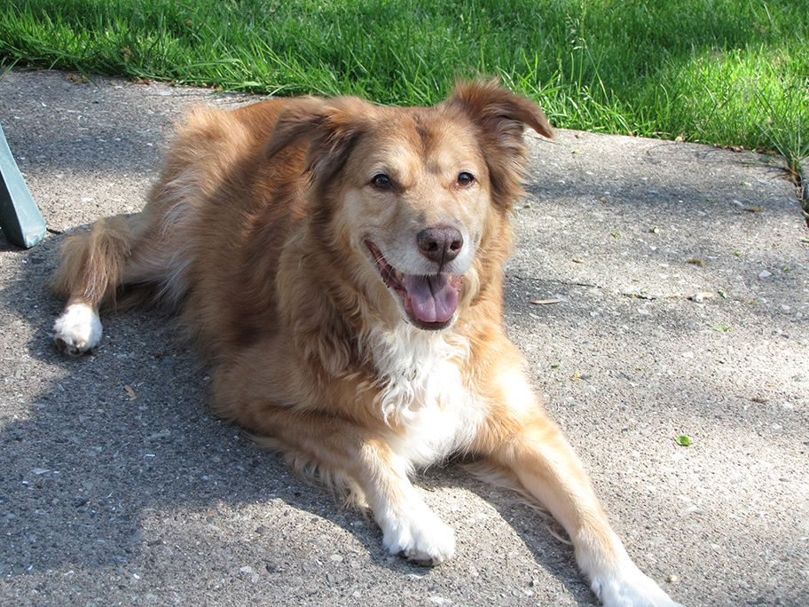 Goldie Joy Is A Golden Retriever Aussy Shepherd Mixed Dog Available For Adoption From Golden Retriever R Golden Retriever Rescue Golden Retriever Dog Adoption
