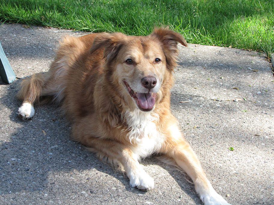 Goldie Joy is a golden retriever, Aussy Shepherd mixed dog
