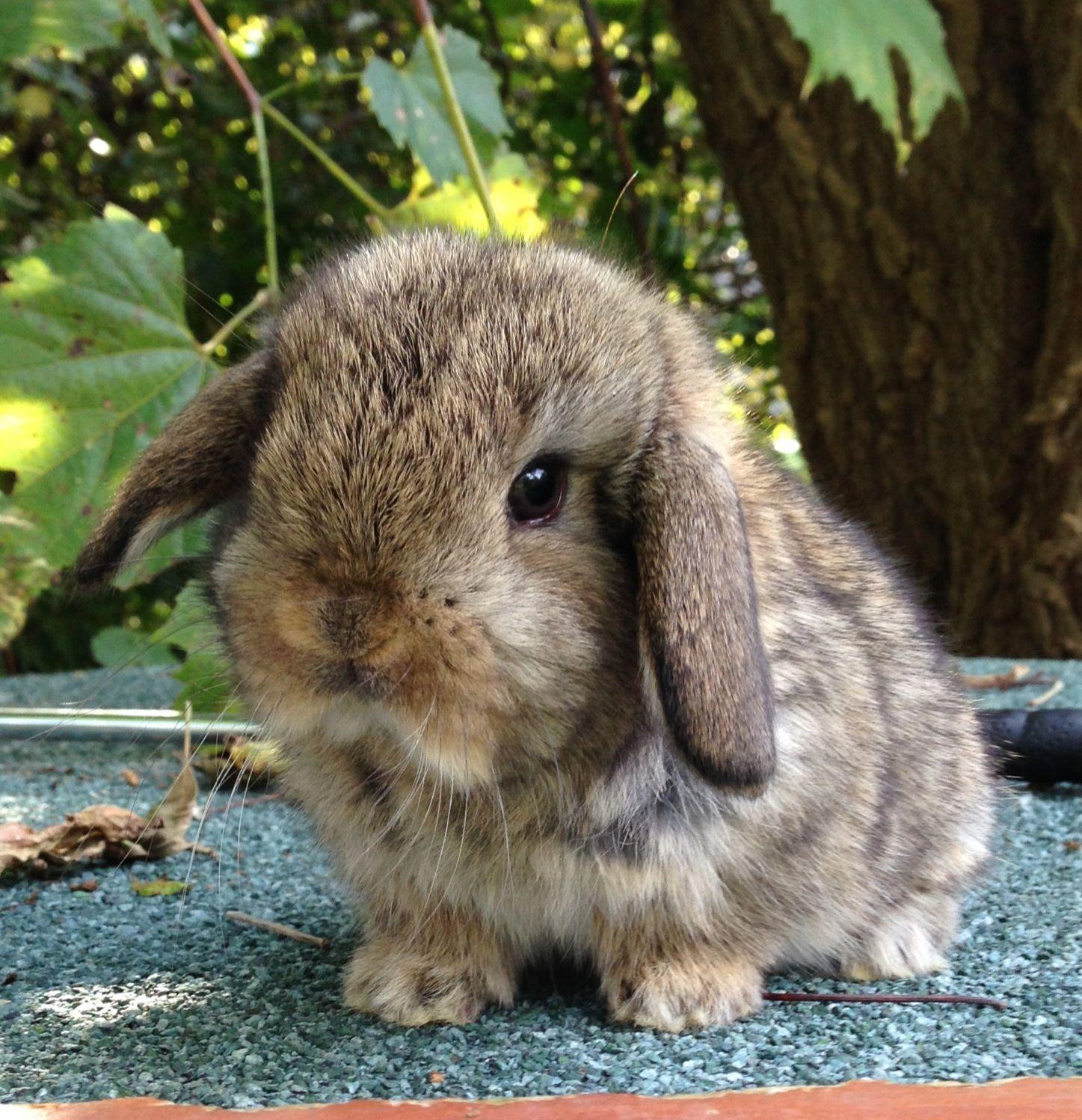 Chestnut Holland Lop Kit | Bunnies | Pinterest