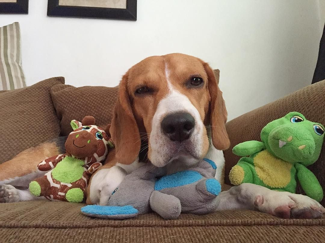 Why Do I Need To Pose With All These Not So Manly Toys Beagle