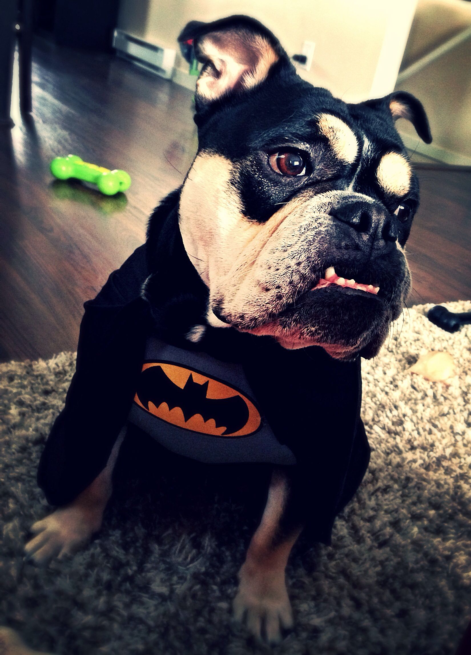 Batdog English Bulldog In A Batman Costume Love Animals In