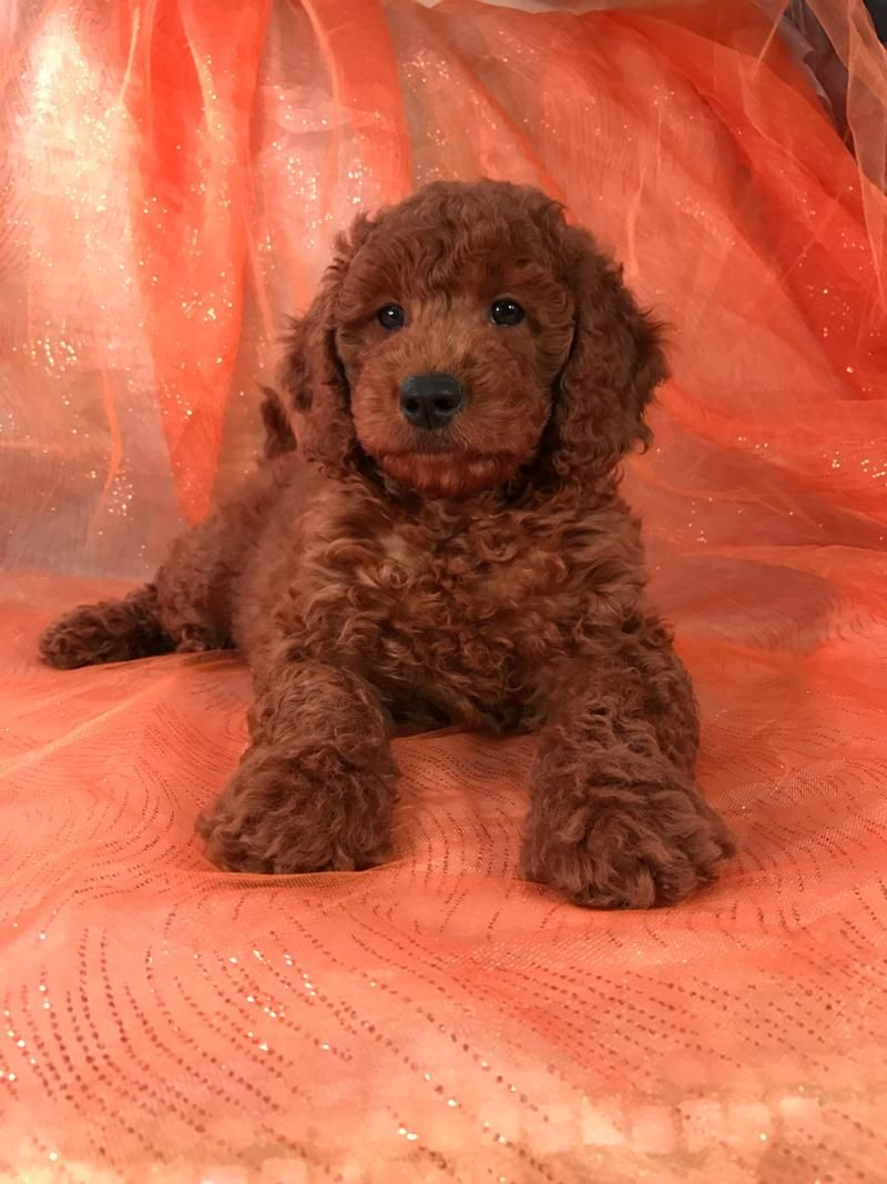 Red Golden Doodle Mini Google Search Goldendoodle Puppy