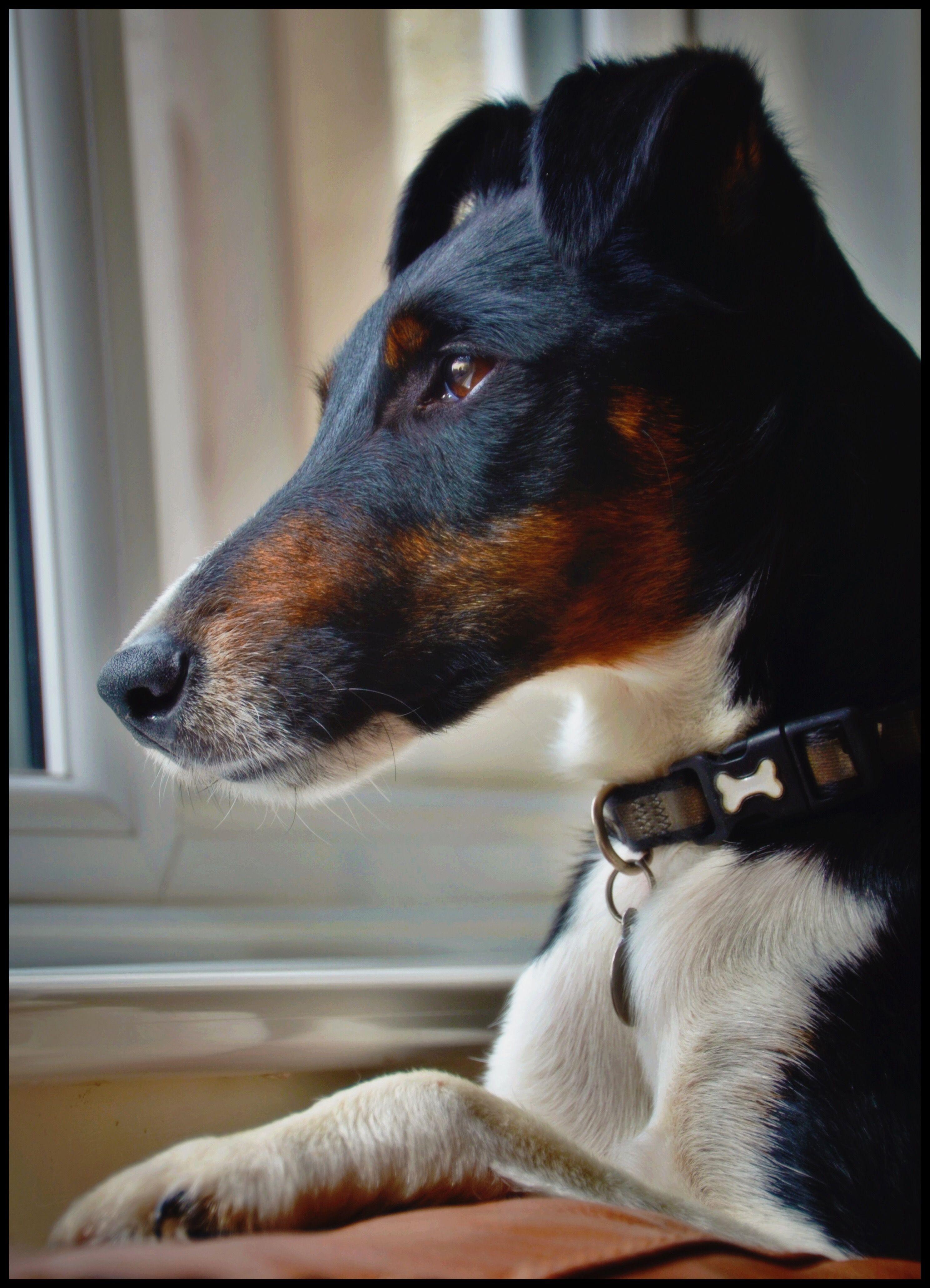 Henri At Home In Dorset Fox Terrier Terrier
