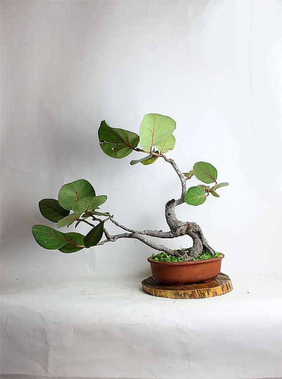 Seagrape Bonsai Tree By Livebonsaitree By Livebonsaitree On Etsy