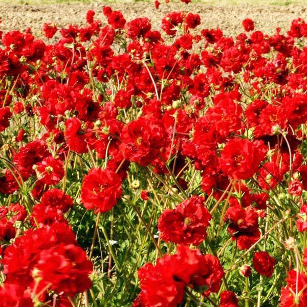 Blazing sunset geum flowers in a field double red geum flowers 10 blazing sunset geum flowers in a field double red geum flowers 10 perennialsseedssunsets mightylinksfo