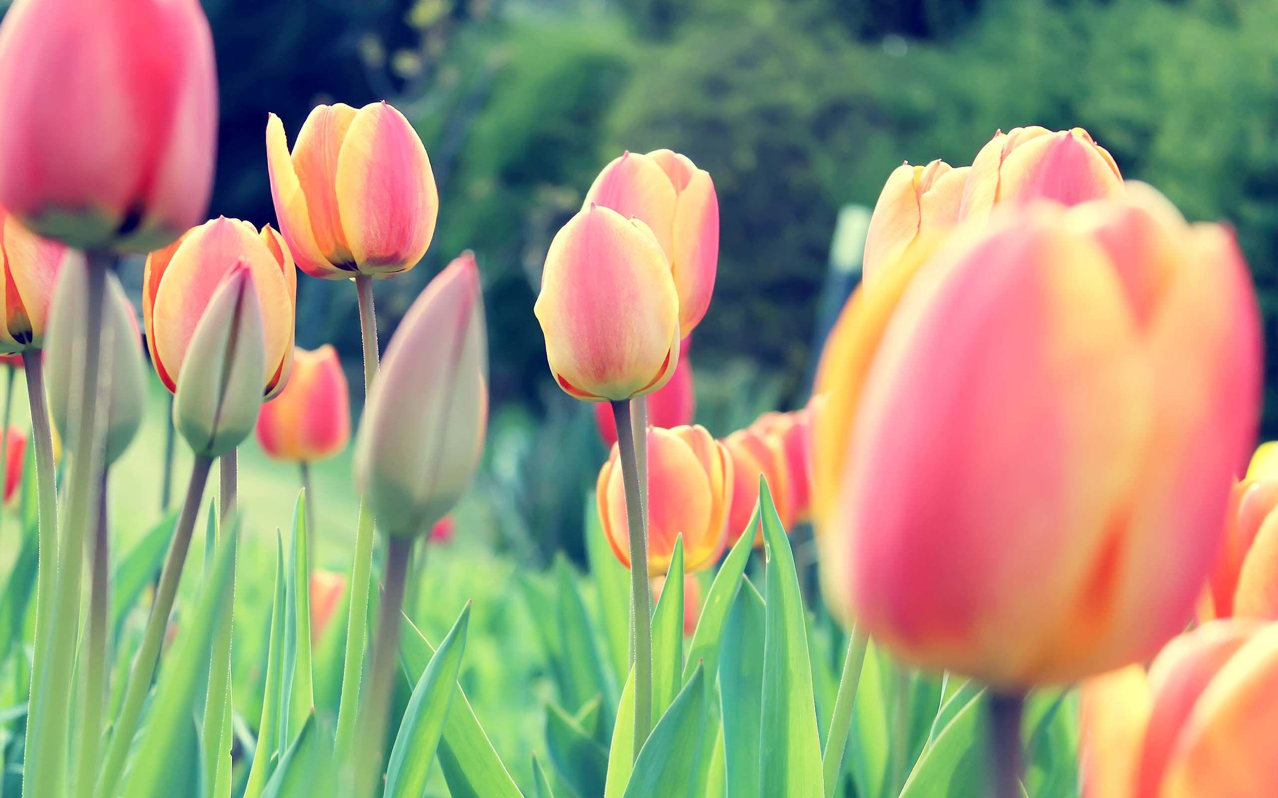 Flower Tulips Free Desktop Wallpaper 2560x1600