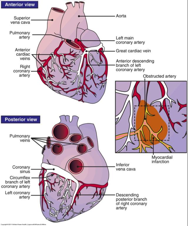 Coronary Circulation Pathway | Coronary Circulation Coronary ...