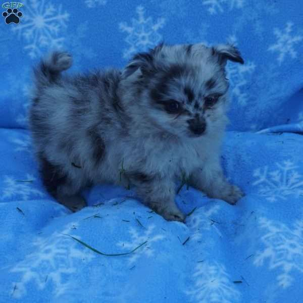 Betsy Aussie Pom Toy Australian Shepherd Mix Puppy For Sale In