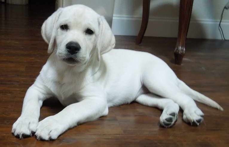 Pin By Lisa S Garage On Dogs Retriever Puppy Labrador Retriever Puppies Labrador Retriever